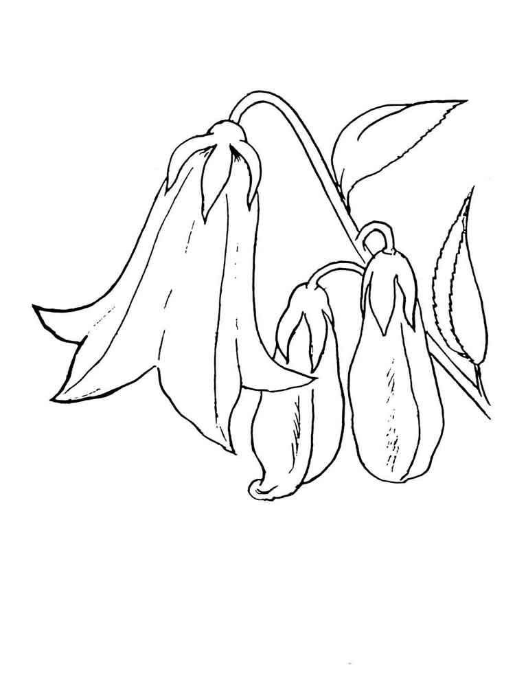 raskraski-cvetok-kolokolchik-12