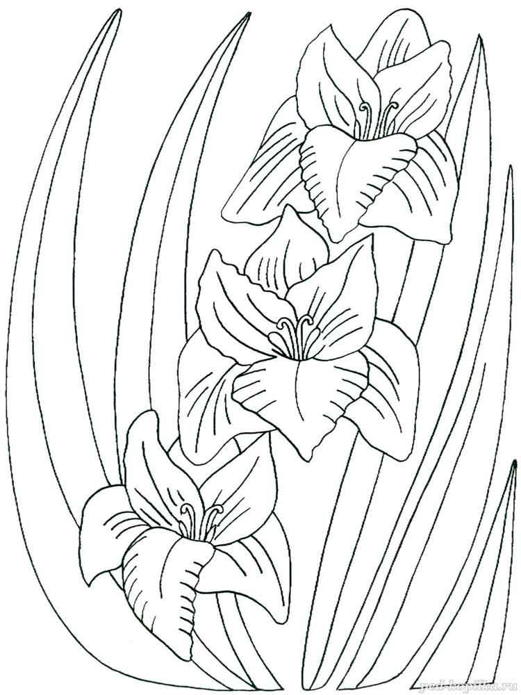 raskraski-gladiolus-1