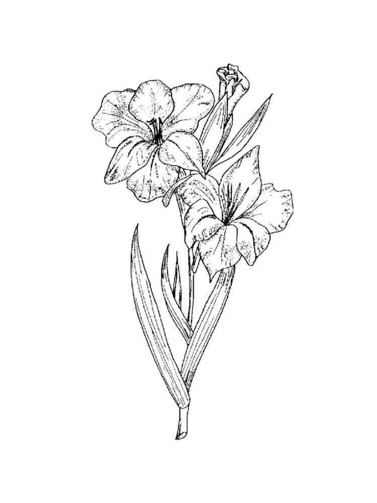 raskraski-gladiolus-10