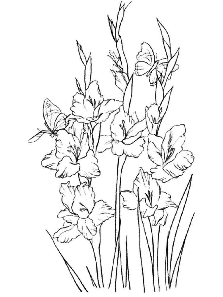 raskraski-gladiolus-11