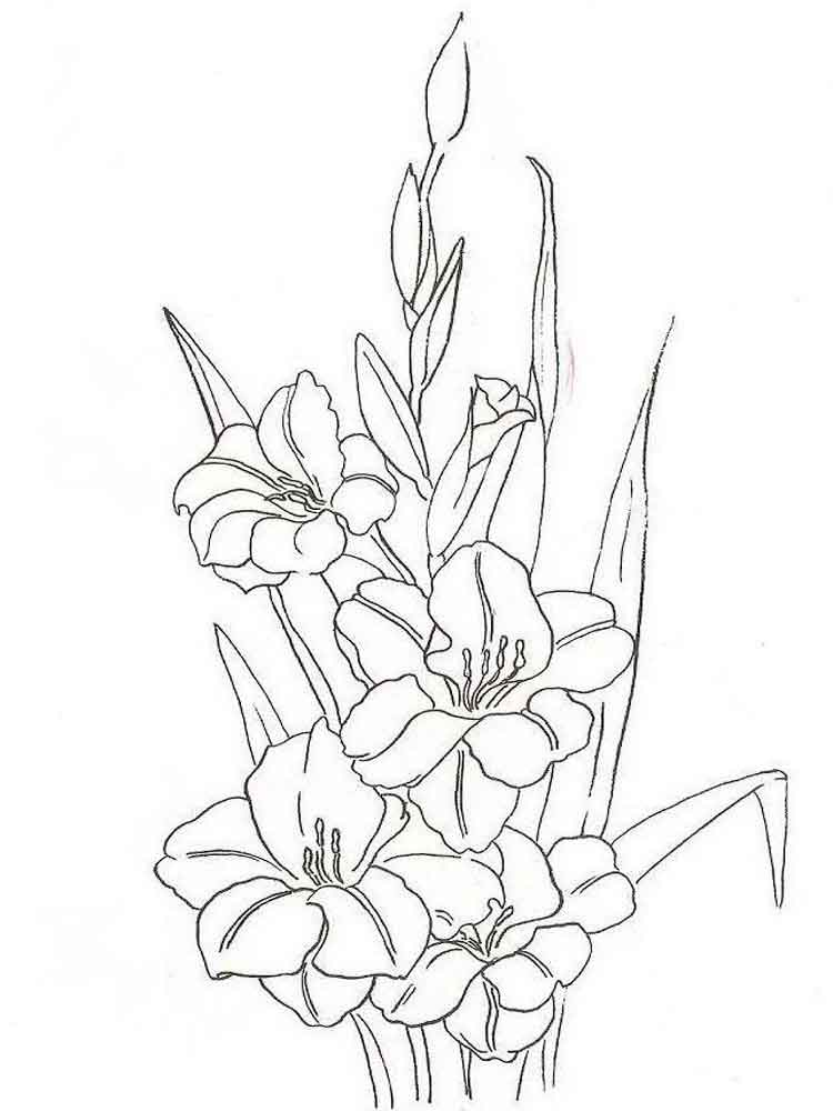 raskraski-gladiolus-2