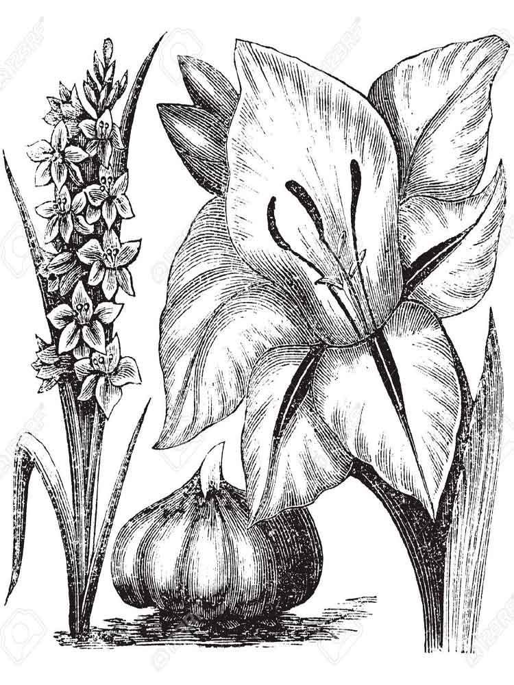 raskraski-gladiolus-3
