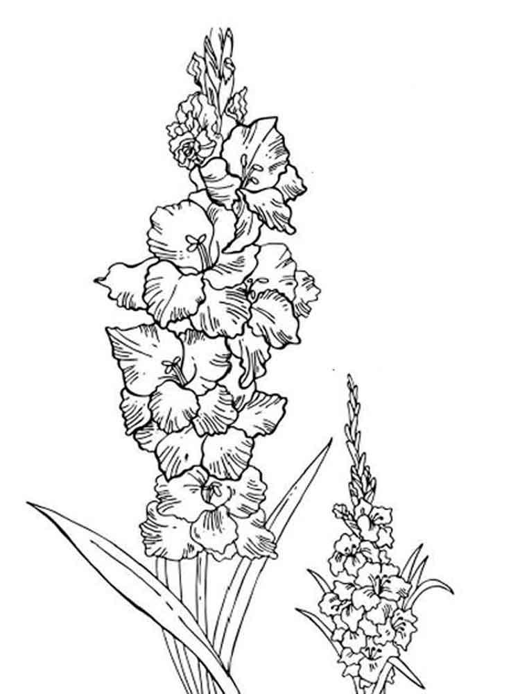 raskraski-gladiolus-6