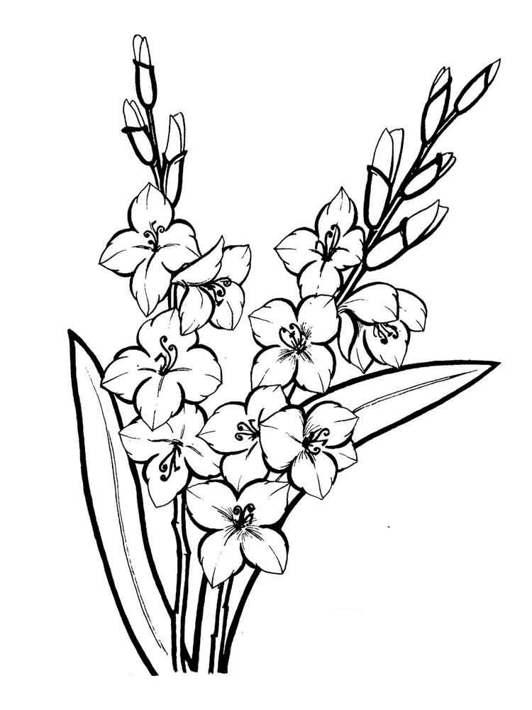 raskraski-gladiolus-9