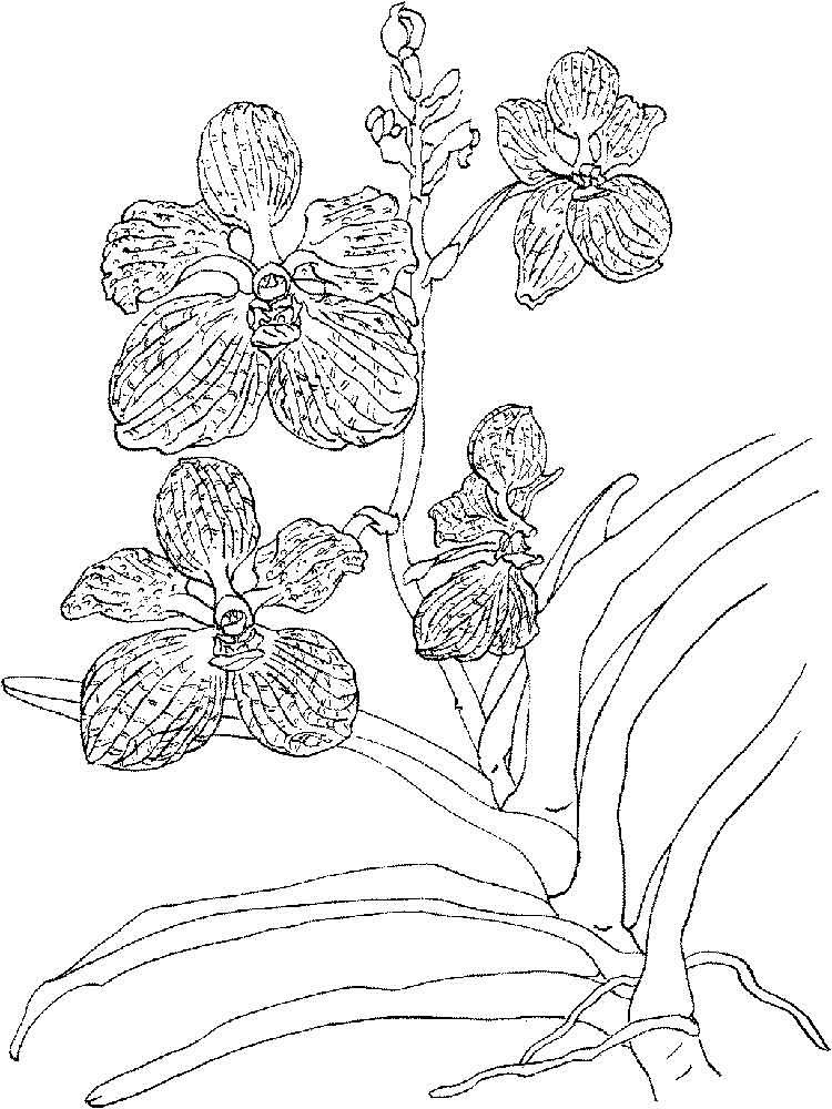 raskraski-orhideya-16