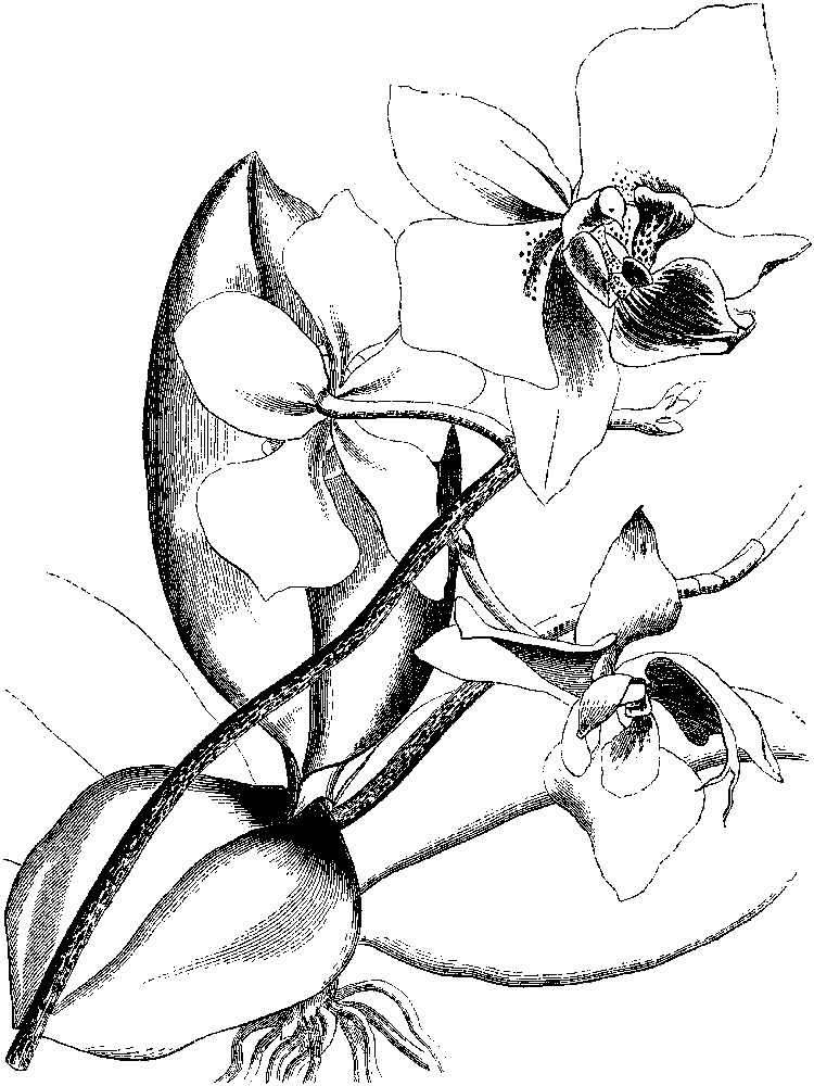 raskraski-orhideya-17