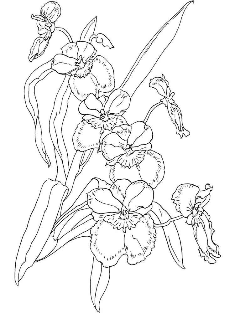 raskraski-orhideya-2