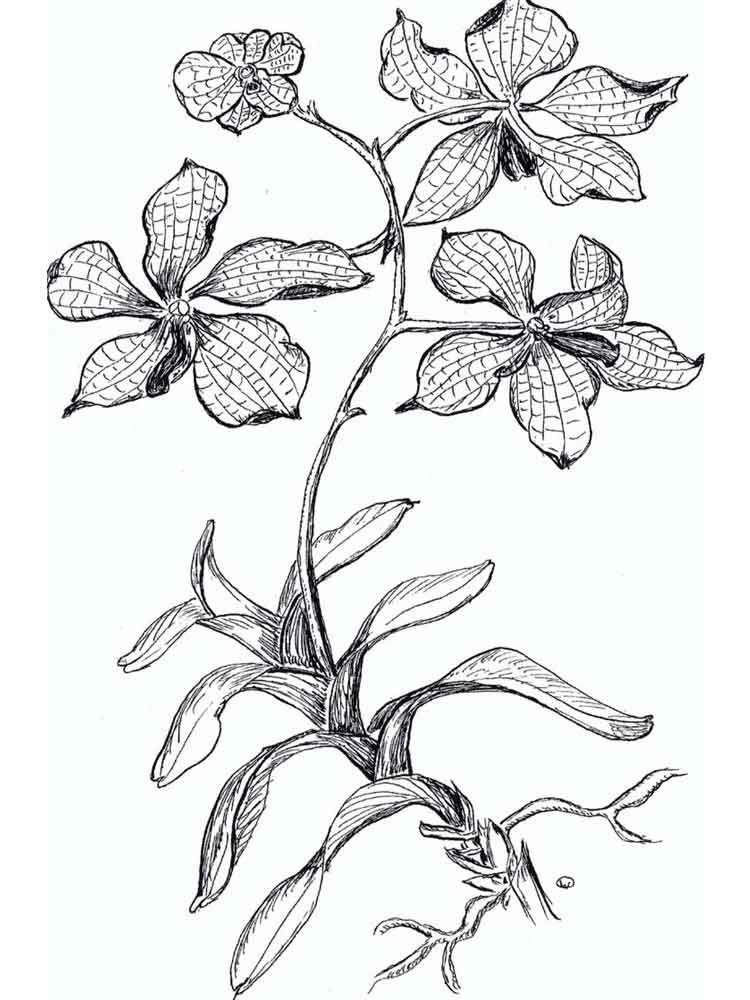 raskraski-orhideya-4