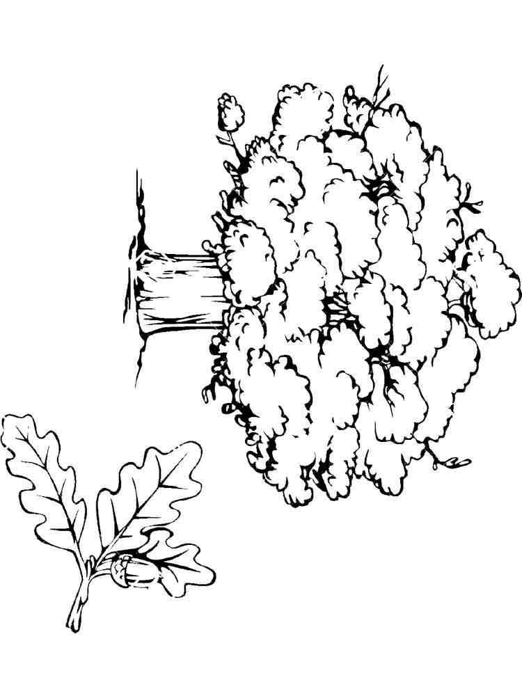 Картинки дуба для детей раскраска