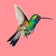 Раскраски Колибри