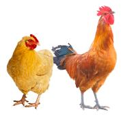 Раскраски Петух и Курица