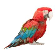 Раскраски Попугай Ара