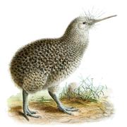 Раскраски птица Киви