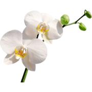 Раскраски Орхидея