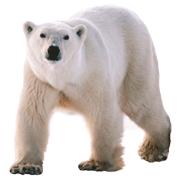 Раскраски Белый медведь