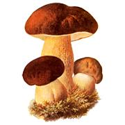 Раскраски Белый гриб