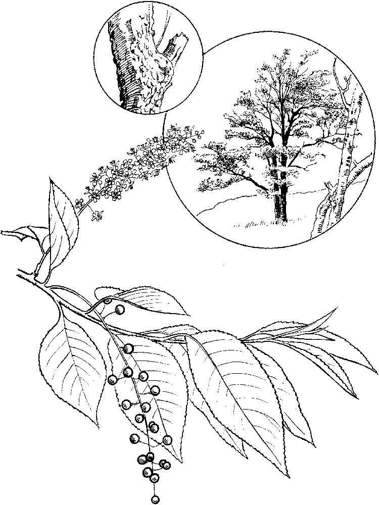 raskraska-cheremuha-5