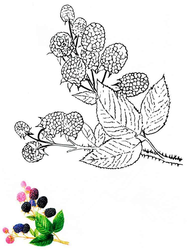 raskraski-jagoda-egevika-2