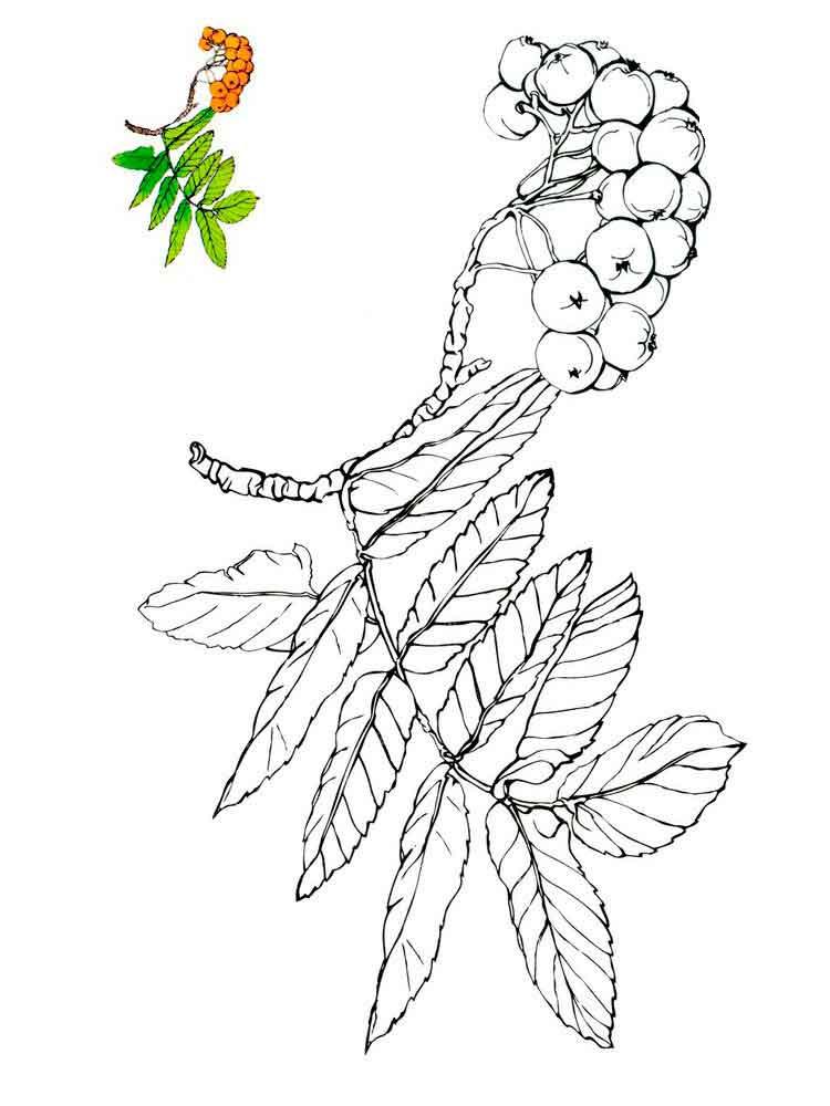 raskraski-jagoda-rjabina-1