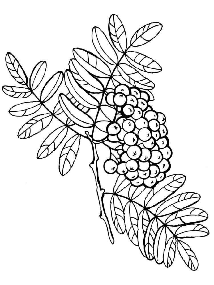 raskraski-jagoda-rjabina-2