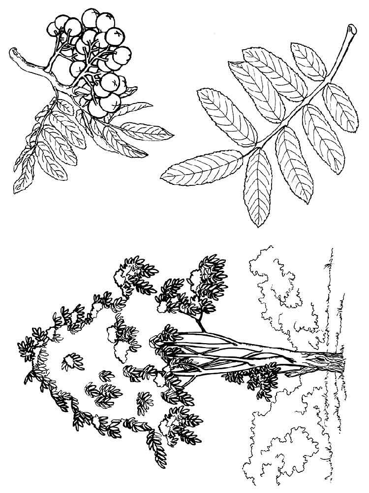 raskraski-jagoda-rjabina-3