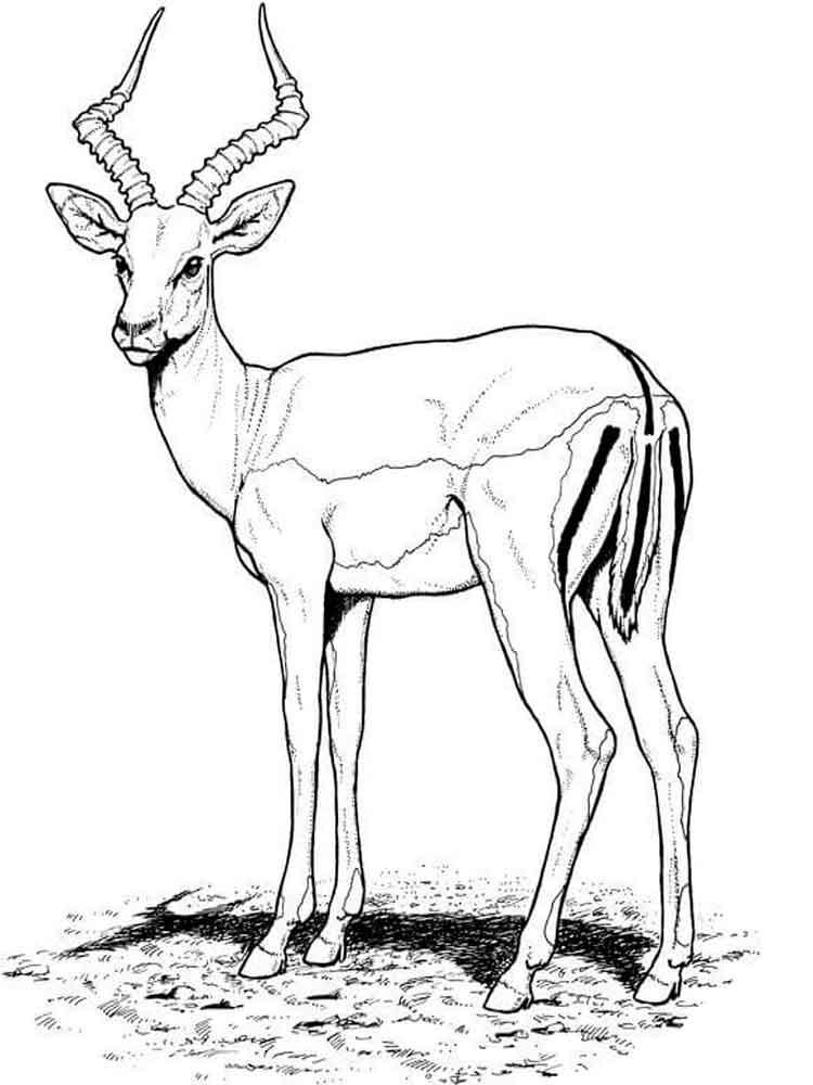 raskraski-antilopa-5