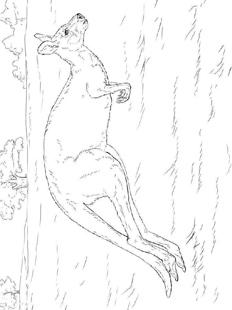 raskraski-kenguru-14