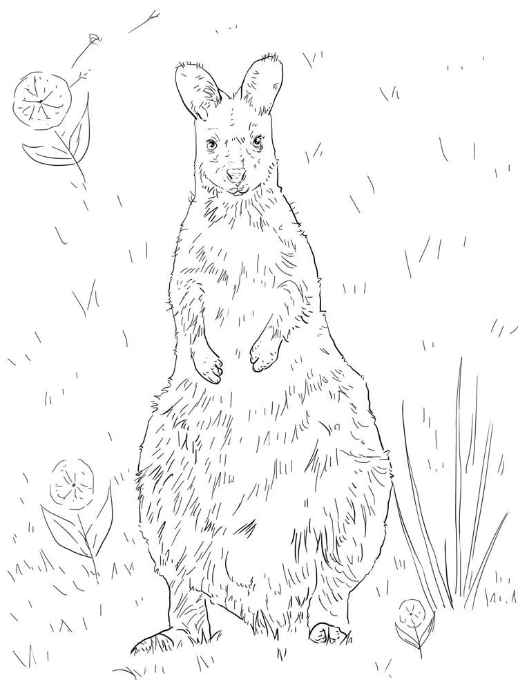 raskraski-kenguru-20