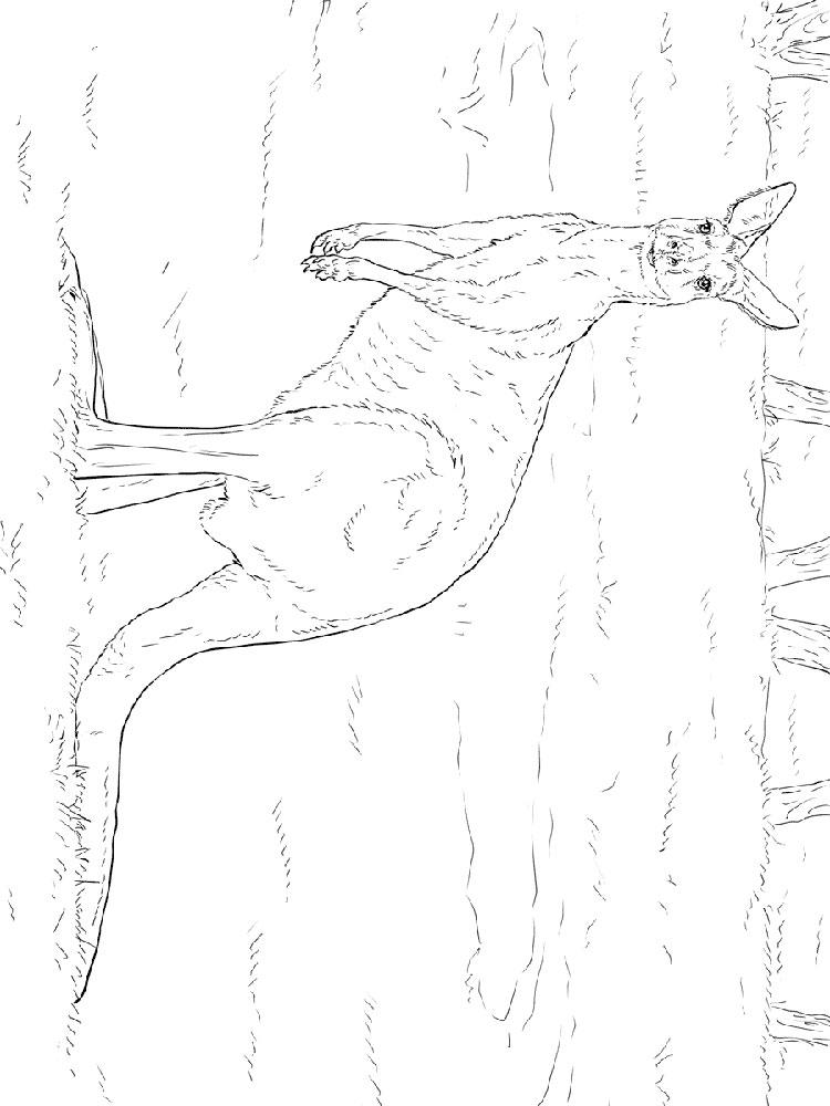 raskraski-kenguru-21