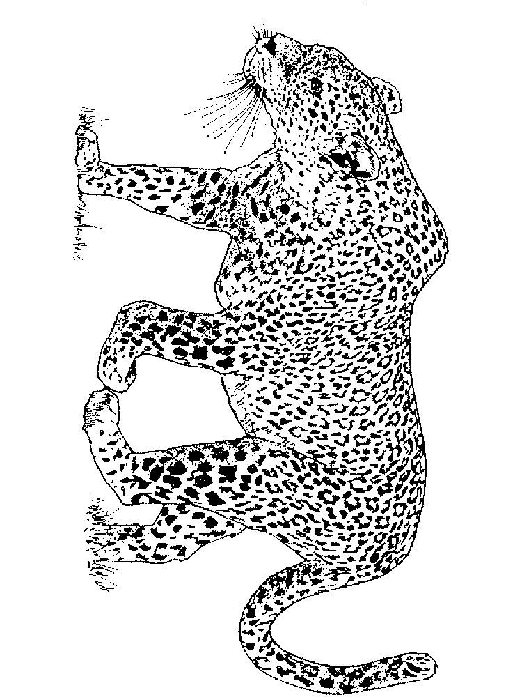 raskraski-leopard-13