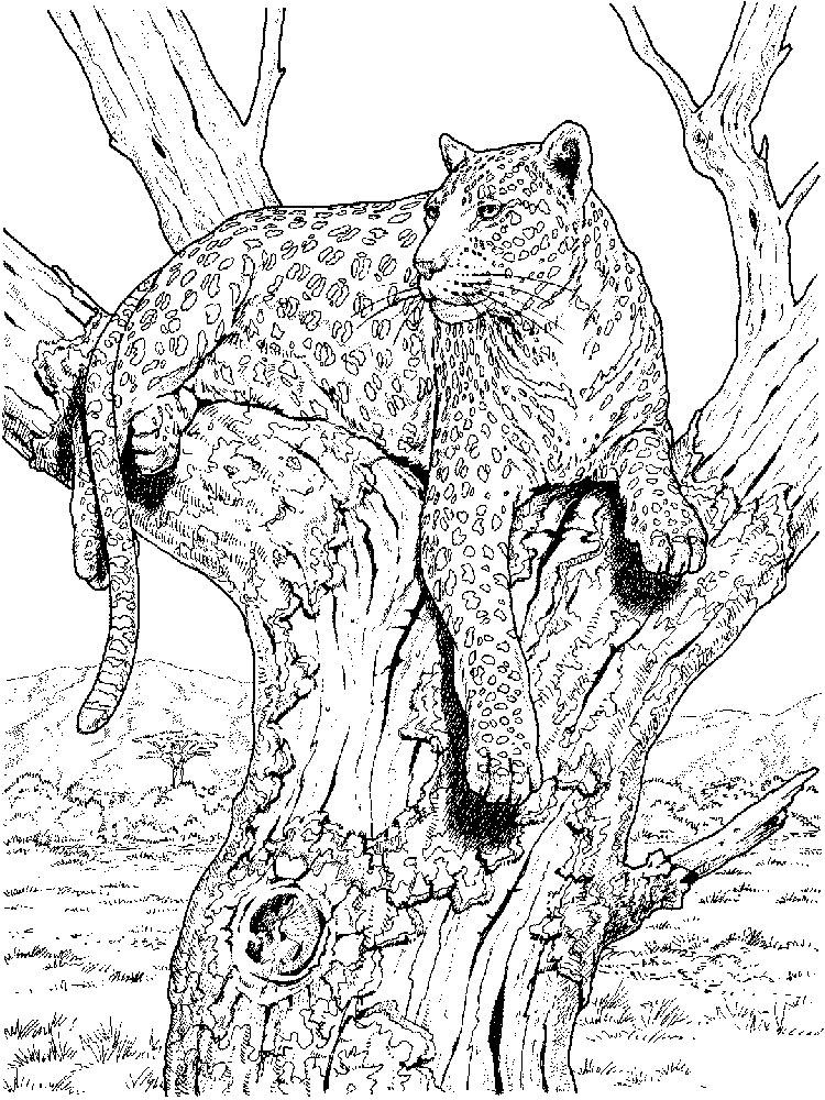 raskraski-leopard-5
